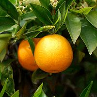 Productores de Frutas a Punto de Perder Temporada
